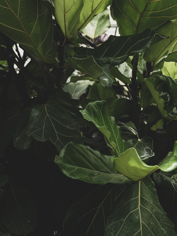 Groenblijvende Leiboom kopen